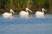 Bílých pelikánů na vodě