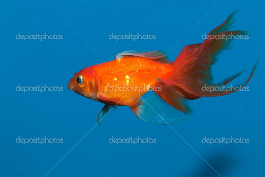 Poisson rouge rouge dans l 39 eau bleue photographie iliuta for Tarif poisson rouge
