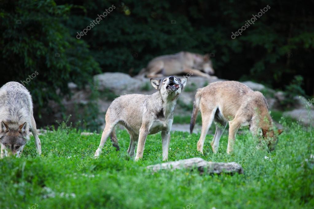 Pack of wolves feeding on carcass in natural