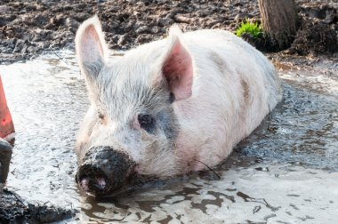 pig in mud on the farm