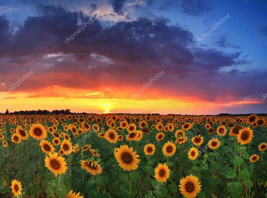 Field Of Sunflowers On The Sunset Stock Photo 38233597