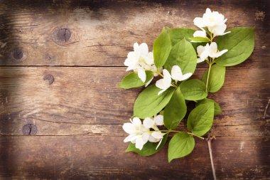 Blooming Jasmine wicker, wood background.