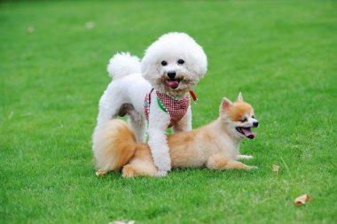 Bichon Frise and Pomeranian dogs