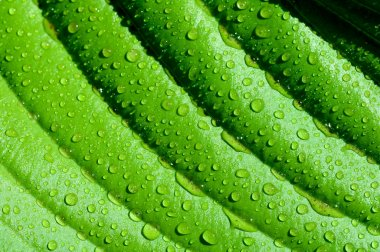 Background of the lines on the green leaves with drops macro