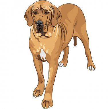 Vector sketch domestic dog fawn Great Dane breed
