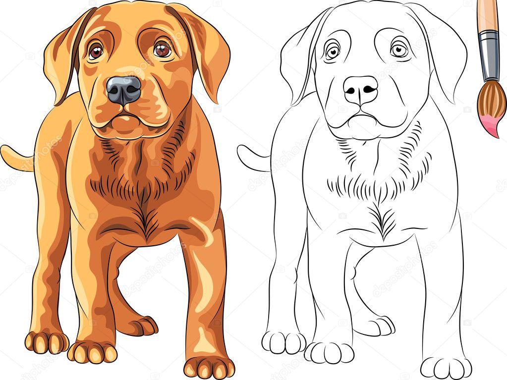 Vecteur Coloriages De Petit Chien Rouge Chien Labrador