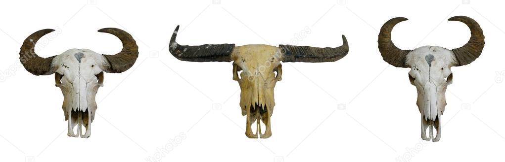 cráneo del búfalo — Foto de stock © Kris #25394343