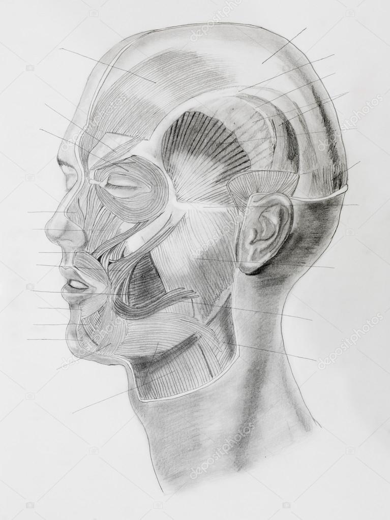 dibujo a lápiz de la anatomía — Fotos de Stock © shotsstudio #34937379