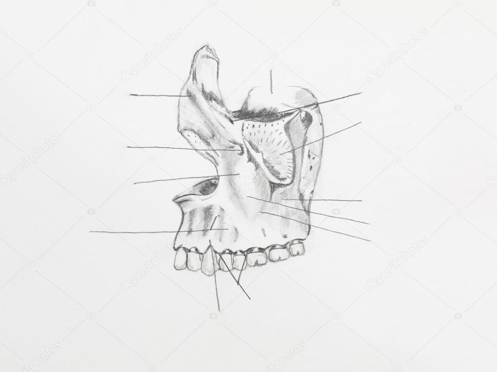 Kresba Tuzkou Anatomie Stock Fotografie C Shotsstudio 34937381