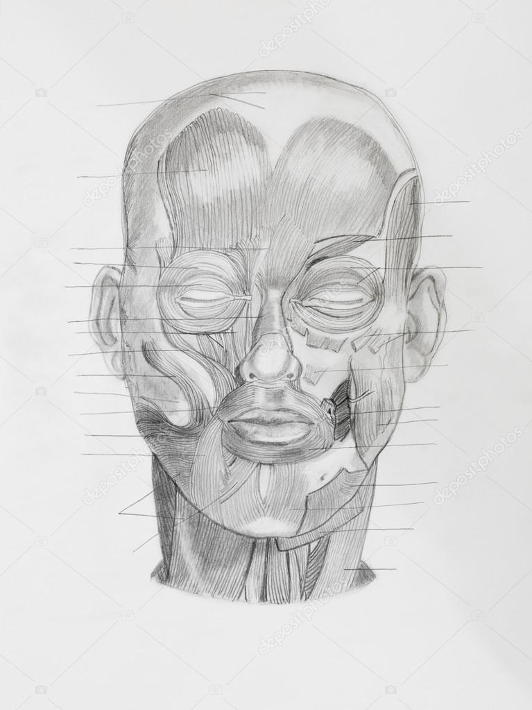dibujo a lápiz de la anatomía — Fotos de Stock © shotsstudio #34937415