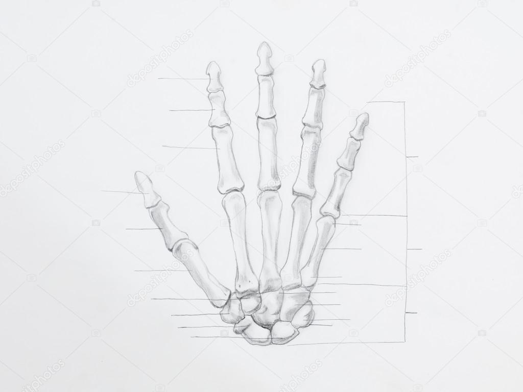 Anatomie-Bleistiftzeichnung — Stockfoto © shotsstudio #34937427
