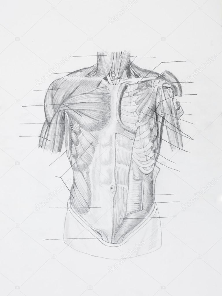 dibujo a lápiz de la anatomía — Fotos de Stock © shotsstudio #34937481