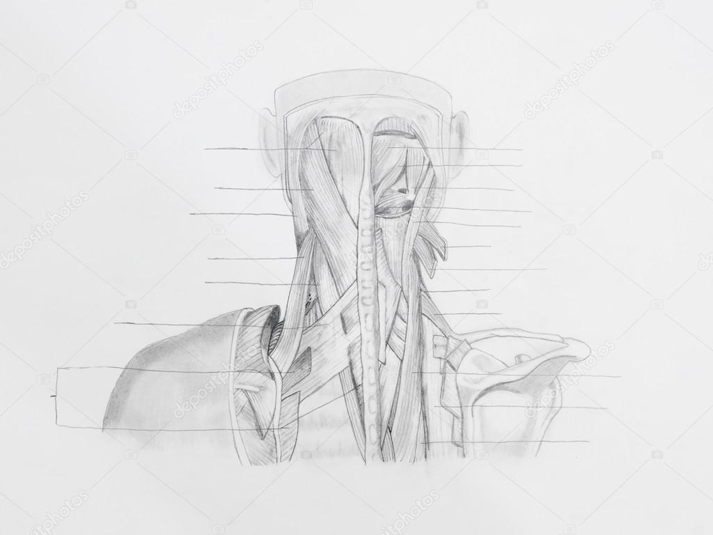 Kresba Tuzkou Anatomie Stock Fotografie C Shotsstudio 34937529