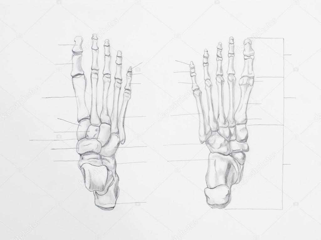 Anatomy pencil drawing — Stock Photo © shotsstudio #34937541