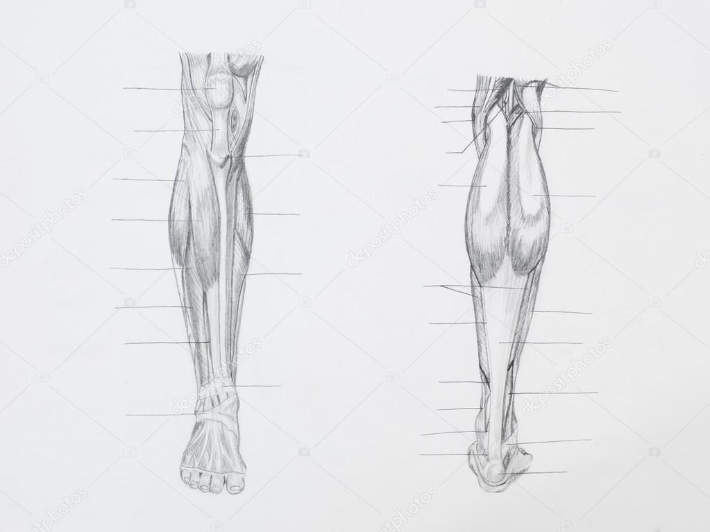 dibujo a lápiz de la anatomía — Fotos de Stock © shotsstudio #34937639