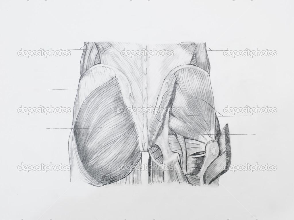 Kresba Tuzkou Anatomie Stock Fotografie C Shotsstudio 34937665