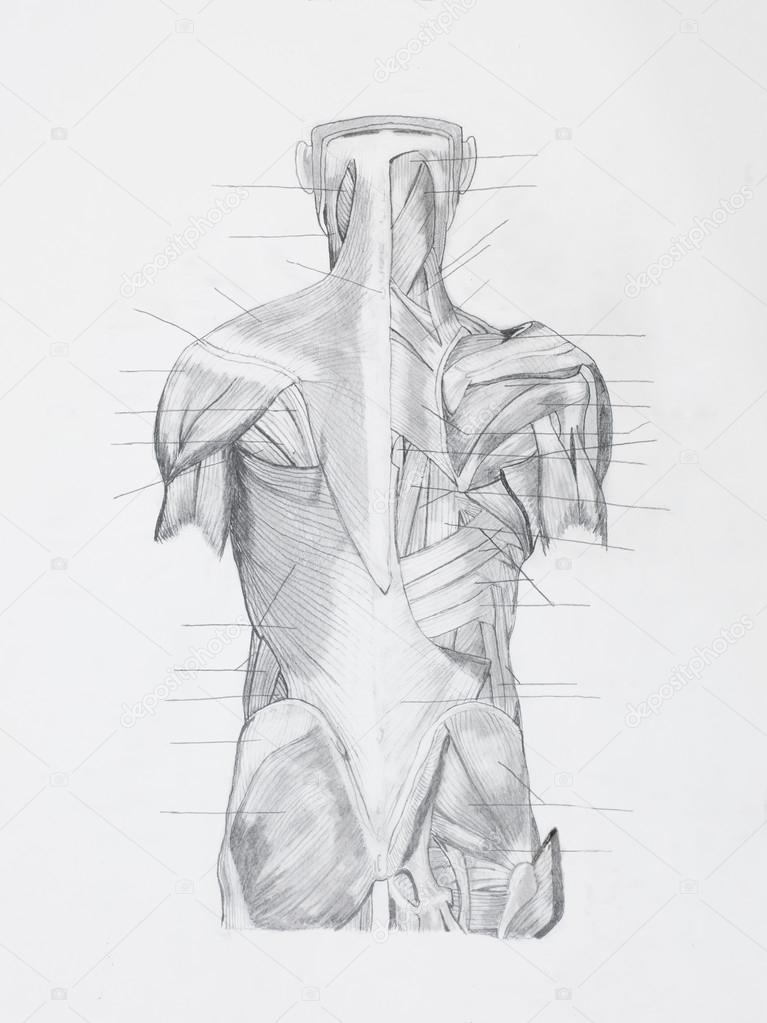 dibujo a lápiz de la anatomía — Foto de stock © shotsstudio #34937691