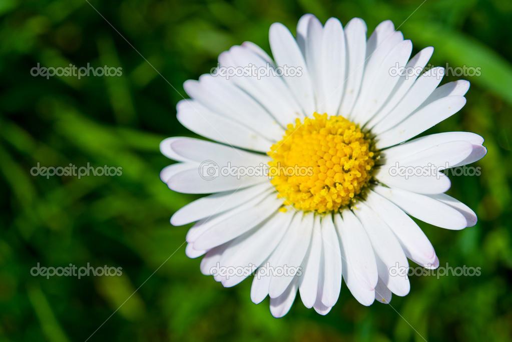 ein Gänseblümchen — Stockfoto © manams #24744053