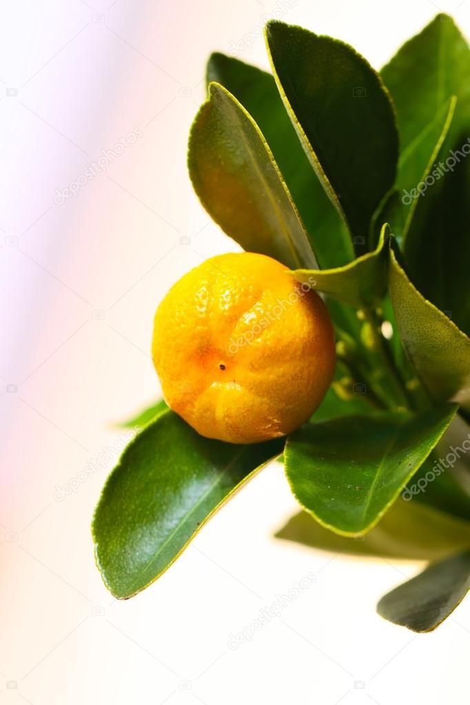 The fruit of calamondin