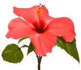 rózsaszín hibiszkusz