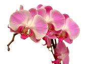 Fotografie fialová orchidej