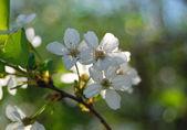 Fényképek virágzó