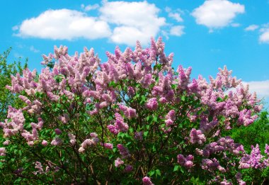 Blossoming lilacs