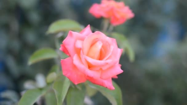 růžová růže v zahradě