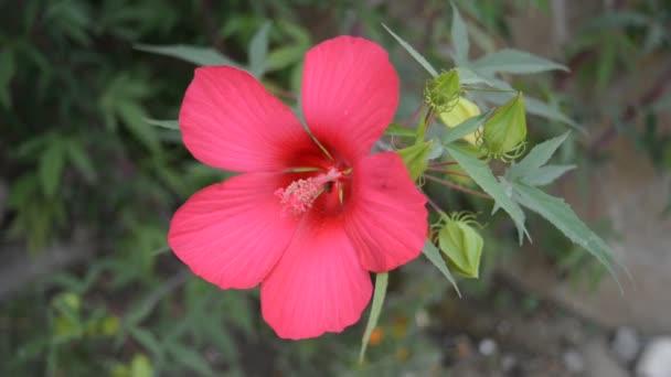 a kertben gyönyörű rózsaszín hibiszkusz