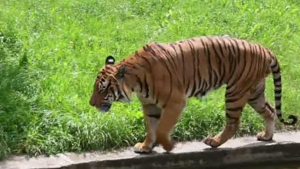 Tygr kousek trávy