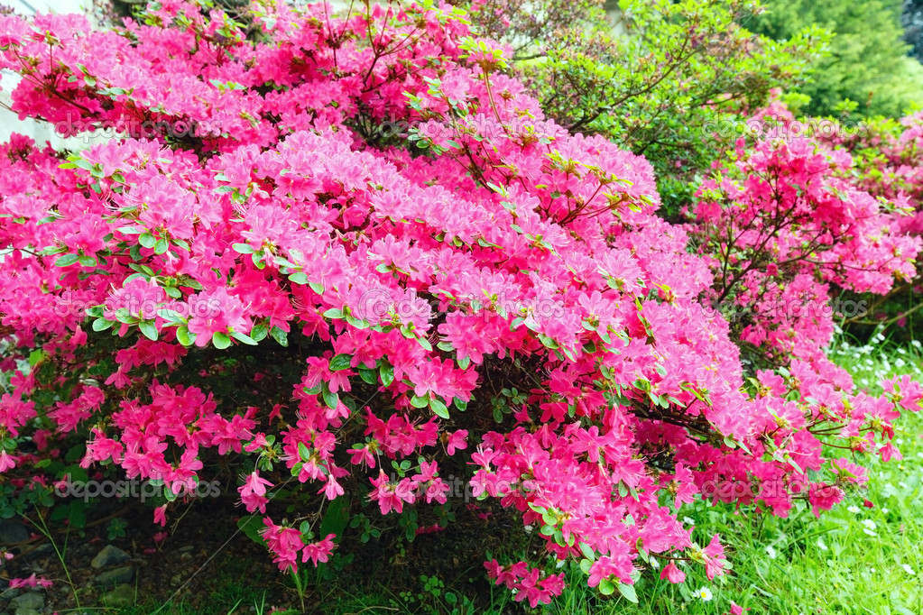 Blossoming rhododendron bush with pink flowers stock photo blossoming rhododendron bush with pink flowers closeup photo by wildman mightylinksfo