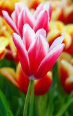 szép piros-fehér tulipán (Vértes)