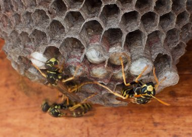 Genera Vespula and Dolichovespula, or yellow jackets working