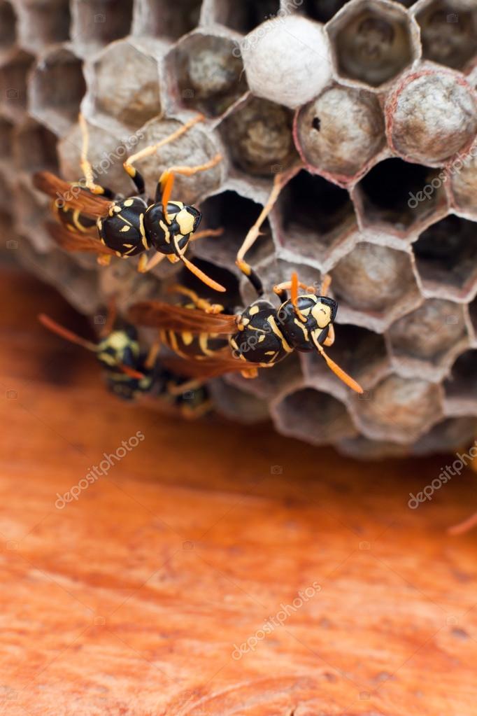 Genera Vespula and Dolichovespula, or yellow jackets