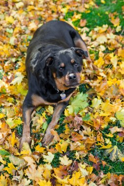 Rottweiler and autumn