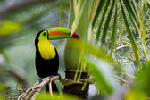 Photo Keel billed toucan