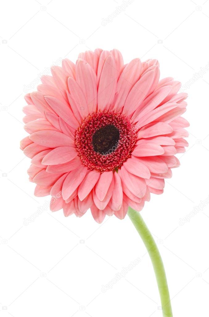 Gerbera Rose En Belle Fleur Pleine Sur Blanc Un Trace De