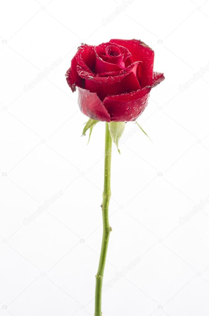 Single red rose on white background : Clipping path