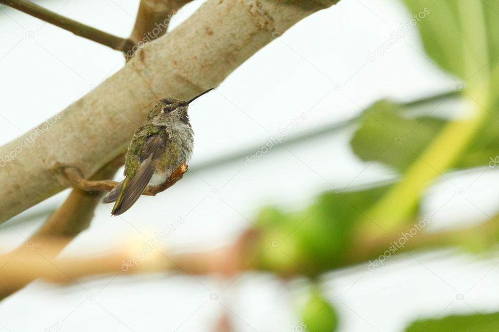 Colibr appollaiato sul ramo di un albero di fico foto for Albero fico prezzo