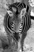 Zebra v černé a bílé tón