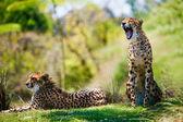 Fotografie dvě africké gepardi odpočinku v trávě