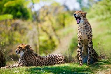 Two african cheetahs relaxing in the grass