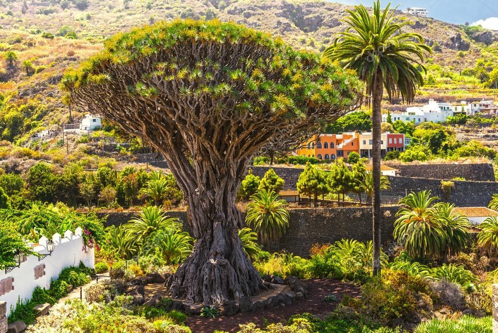 Millennial Drago tree at Icod de los Vinos, Tenerife Island