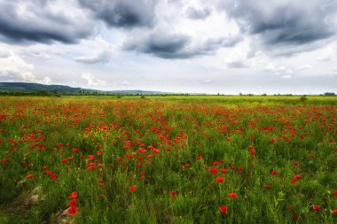 Rural fields with wild red poppies and storm clouds
