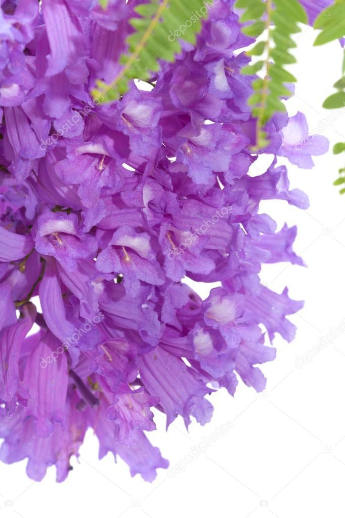 Jacaranda flowers isolated