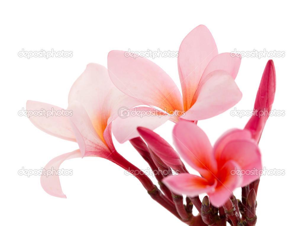 Pink frangipani