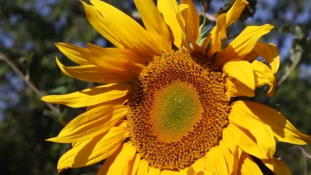 Slunečnice closeup
