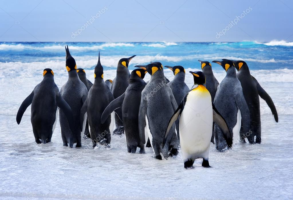 King Penguins heading to the water in the Falkland Islands stock vector