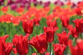 kültéri kép színes tulipán a park, Ukrajna, poltava.