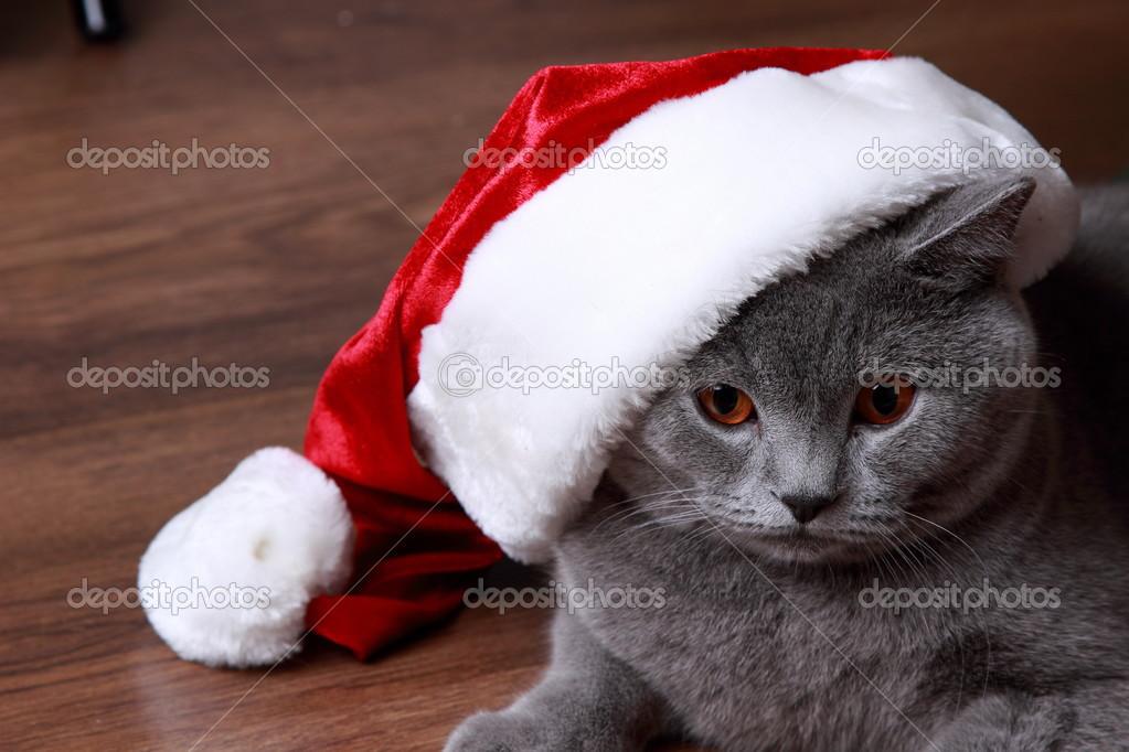 Britannique chat gris avec bonnet de noel photographie mari1photo 36356125 - Image de chat de noel ...